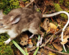 tikus hidung babi